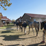 National Yearling Sale 2013 - returning from exercise