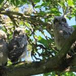 3 owl chicks