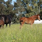 Mares and foals at pasture