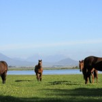 Two Year Old fillies in vlei
